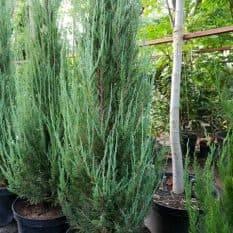 Можжевельник скальный Блю Арроу (Блю Эрроу) (Juniperus scopolorum Blue Arrow) ФОТО Питомник растений Природа (8)
