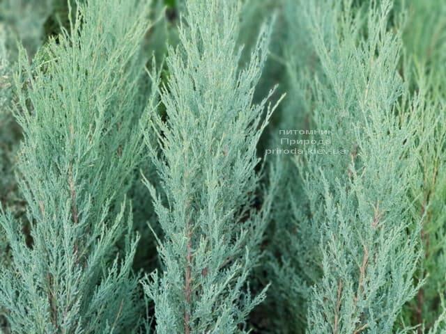 Можжевельник скальный Скайрокет (Juniperus scopulorum Skyrocket) ФОТО Питомник растений Природа (5)