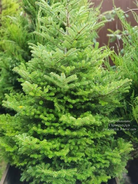 Пихта корейская (Abies koreana) ФОТО Питомник растений Природа (2)