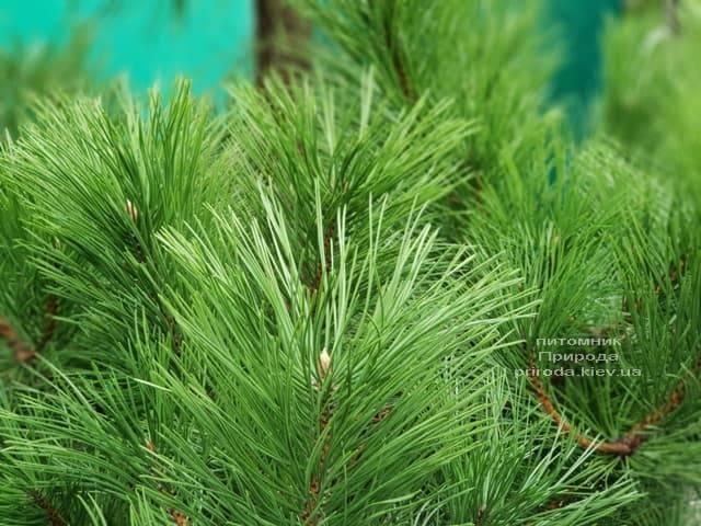 Сосна Чёрная (Австрийская) (Pinus nigra austriaca) ФОТО Питомник растений Природа (4)