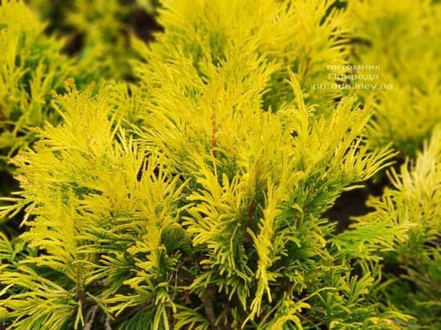 Туя складчатая Фореве Голди (Thuja plicata Goldy) ФОТО Питомник растений Природа (1)