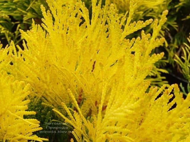 Туя складчатая Фореве Голди (Thuja plicata Goldy) ФОТО Питомник растений Природа (2)