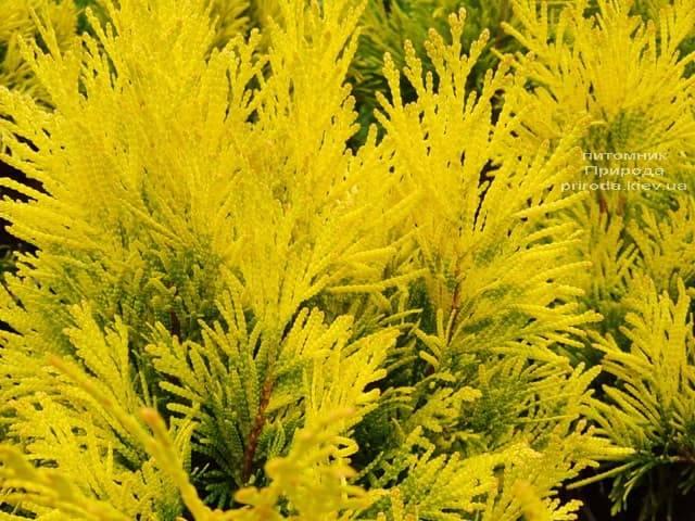 Туя складчатая Фореве Голди (Thuja plicata Goldy) ФОТО Питомник растений Природа (4)