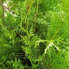 Туя западная Брабант (Thuja occidentalis Brabant) ФОТО Питомник растений Природа (51)