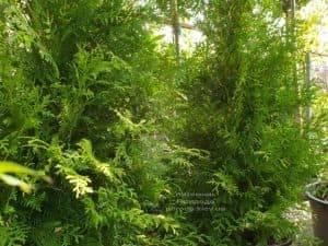 Туя западная Брабант (Thuja occidentalis Brabant) ФОТО Питомник растений Природа (53)