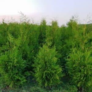 Туя западная Брабант (Thuja occidentalis Brabant) ФОТО Питомник растений Природа (54)
