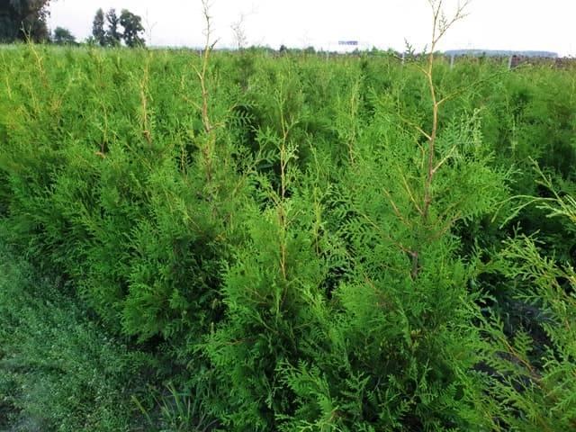 Туя западная Брабант (Thuja occidentalis Brabant) ФОТО Питомник растений Природа (55)