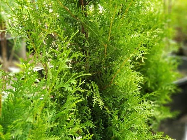 Туя западная Брабант (Thuja occidentalis Brabant) ФОТО Питомник растений Природа (56)