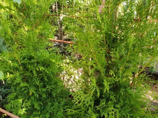 Туя западная Брабант (Thuja occidentalis Brabant) ФОТО Питомник растений Природа (57)