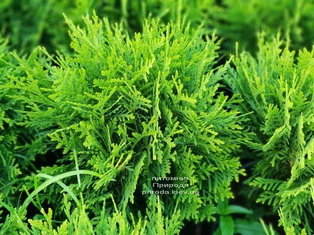 Туя западная Даника (Thuja occidentalis Danica) ФОТО Питомник растений Природа (1)