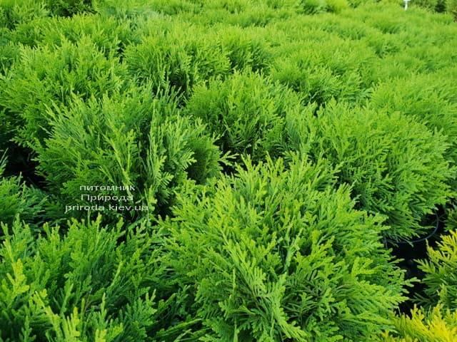 Туя западная Даника (Thuja occidentalis Danica) ФОТО Питомник растений Природа (11)