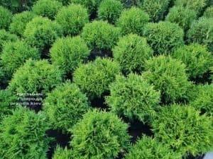 Туя западная Даника (Thuja occidentalis Danica) ФОТО Питомник растений Природа (15)