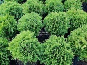 Туя западная Даника (Thuja occidentalis Danica) ФОТО Питомник растений Природа (19)