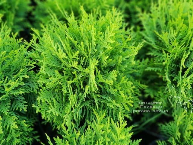 Туя западная Даника (Thuja occidentalis Danica) ФОТО Питомник растений Природа (2)