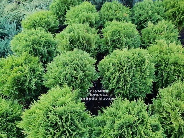 Туя западная Даника (Thuja occidentalis Danica) ФОТО Питомник растений Природа (21)