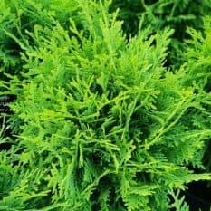 Туя западная Даника (Thuja occidentalis Danica) ФОТО Питомник растений Природа (3)