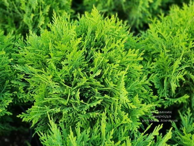 Туя западная Даника (Thuja occidentalis Danica) ФОТО Питомник растений Природа (5)