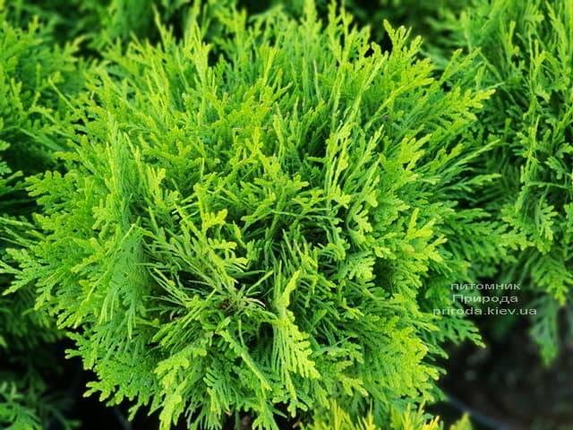 Туя западная Даника (Thuja occidentalis Danica) ФОТО Питомник растений Природа (6)