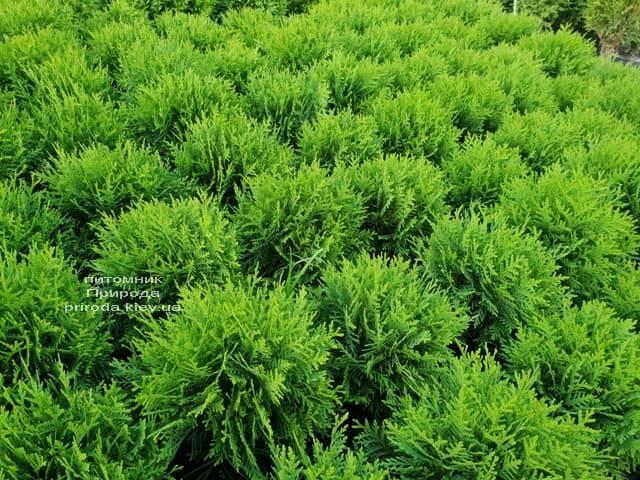 Туя западная Даника (Thuja occidentalis Danica) ФОТО Питомник растений Природа (7)