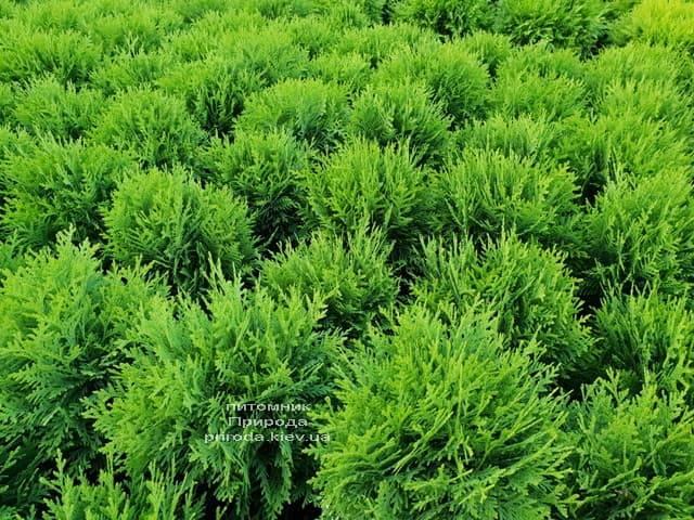 Туя западная Даника (Thuja occidentalis Danica) ФОТО Питомник растений Природа (8)