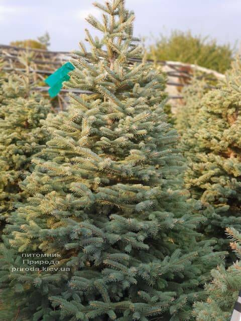 Ель голубая Глаука (Picea pungens Glauca) ФОТО Питомник растений Природа (20)
