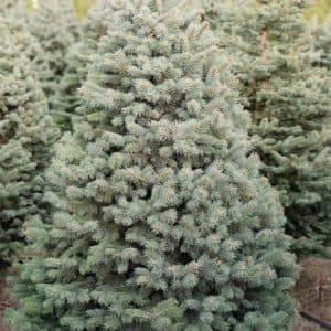 Ель голубая Глаука (Picea pungens Glauca) ФОТО Питомник растений Природа (21)