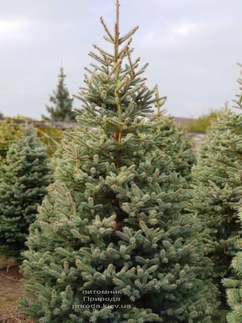 Ель голубая Глаука (Picea pungens Glauca) ФОТО Питомник растений Природа (22)