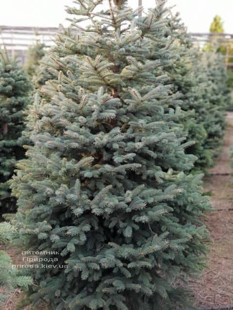 Ель голубая Глаука (Picea pungens Glauca) ФОТО Питомник растений Природа (23)