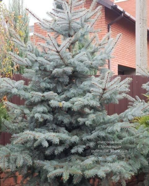 Ель голубая Эдит (Picea pungens Edith) ФОТО Питомник растений Природа (10)