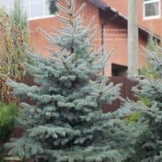 Ель голубая Эдит (Picea pungens Edith) ФОТО Питомник растений Природа (11)