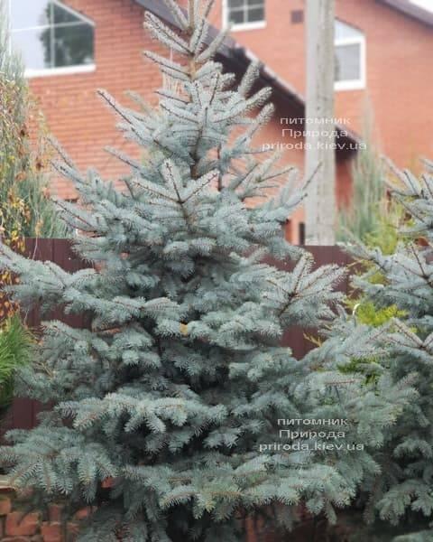 Ель голубая Эдит (Picea pungens Edith) ФОТО Питомник растений Природа (12)