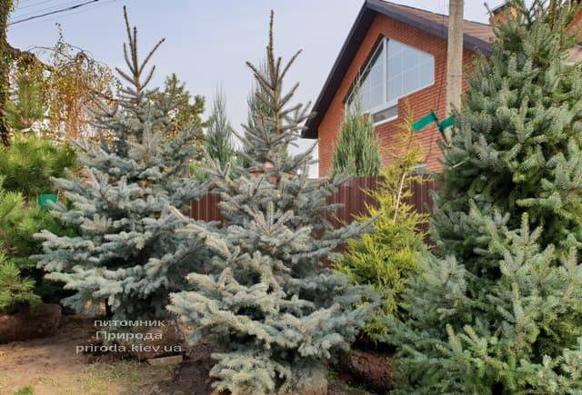 Ель колючая голубая Эдит (Picea pungens Edith) ФОТО Питомник растений Природа (5)