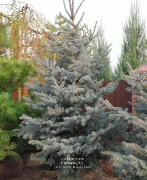 Ель колючая голубая Эдит (Picea pungens Edith) ФОТО Питомник растений Природа (6)