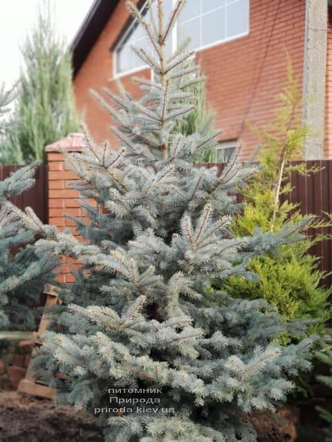 Ель колючая голубая Эдит (Picea pungens Edith) ФОТО Питомник растений Природа (7)