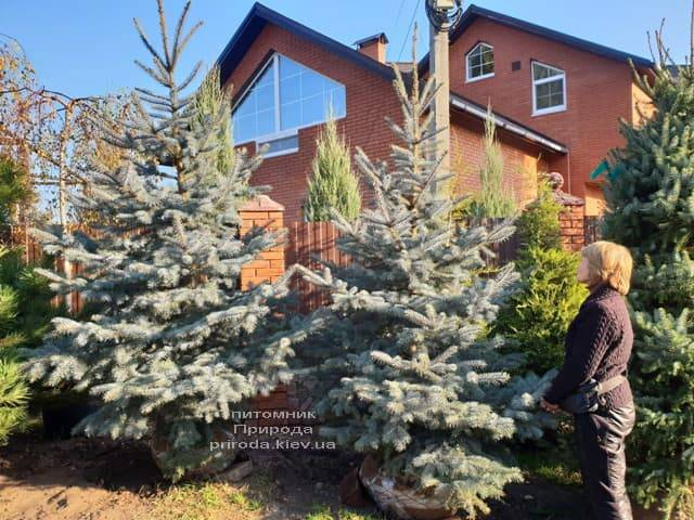 Ель колючая голубая Эдит (Picea pungens Edith) ФОТО Питомник растений Природа (8)