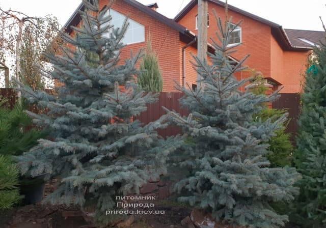 Ель колючая голубая Эдит (Picea pungens Edith) ФОТО Питомник растений Природа (9)
