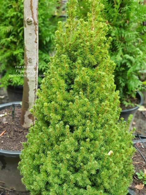 Ель канадская Коника (Picea glauca Conica) ФОТО Питомник растений Природа (3)