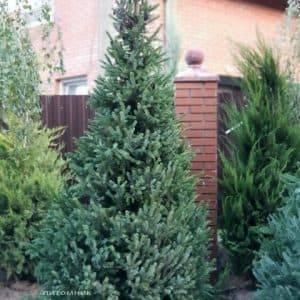 Ель Сербская (Picea omorica) ФОТО Питомник растений Природа (13)
