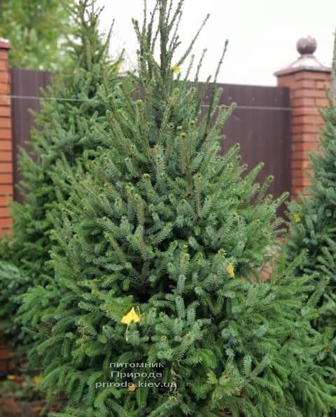 Ель Сербская (Picea omorica) ФОТО Питомник растений Природа (9)