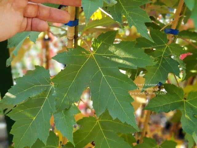 Клён Фримана Отем Фентези (Acer r. x freemanii Autumn Fantasy) ФОТО Питомник растений Природа (1)