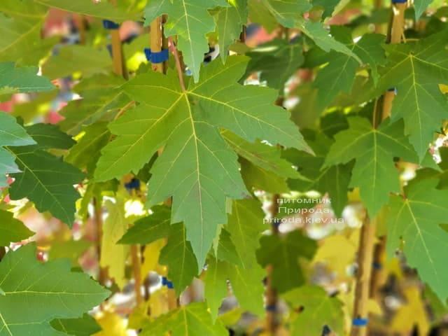Клён Фримана Отем Фентези (Acer r. x freemanii Autumn Fantasy) ФОТО Питомник растений Природа (2)