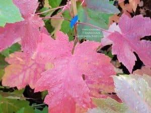Клён Фримана Отем Фентези (Acer r. x freemanii Autumn Fantasy) ФОТО Питомник растений Природа (4)