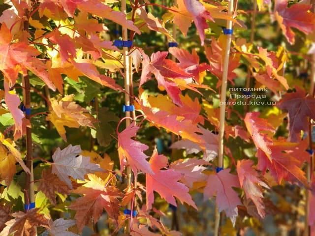 Клён Фримана Сиена Глен (Acer r. x freemanii Sienna Glen) ФОТО Питомник растений Природа (4)