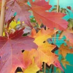 Клён Фримана Сиена Глен (Acer r. x freemanii Sienna Glen) ФОТО Питомник растений Природа (5)