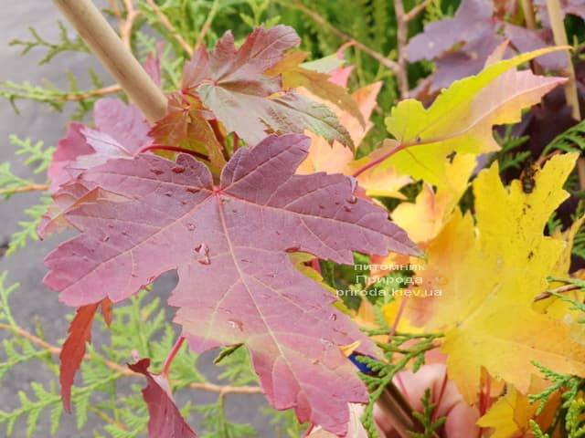 Клён Фримана Сиена Глен (Acer r. x freemanii Sienna Glen) ФОТО Питомник растений Природа (6)