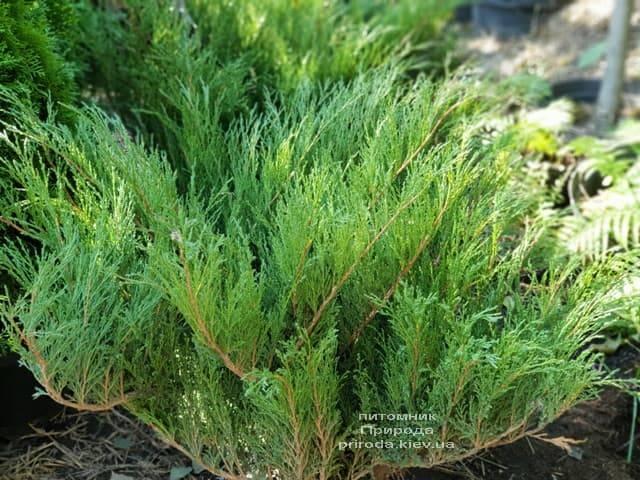 Можжевельник казацкий (Juniperus sabina) ФОТО Питомник растений Природа (3)
