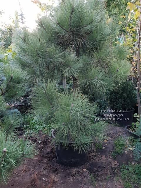 Сосна Орегонская (Жёлтая) (Pinus ponderosa) ФОТО Питомник растений Природа (3)