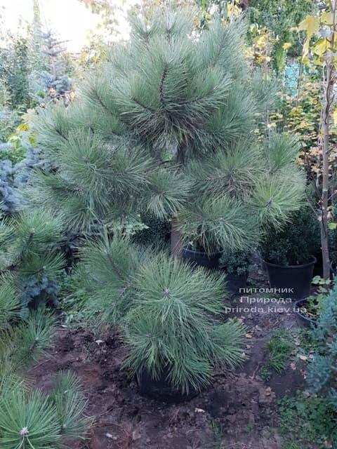 Сосна Орегонская (Жёлтая) (Pinus ponderosa) ФОТО Питомник растений Природа (4)