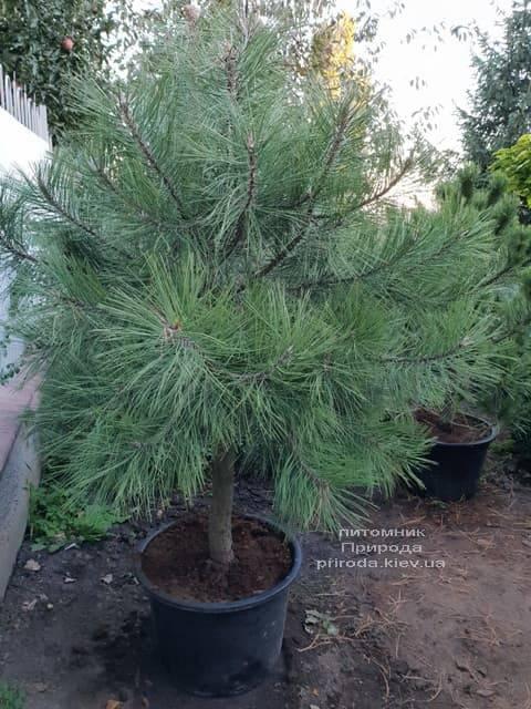 Сосна Орегонская (Жёлтая) (Pinus ponderosa) ФОТО Питомник растений Природа (5)