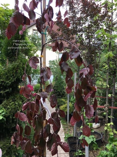 Бук лесной краснолистный плакучий (Fagus sylvatica Purple Fountain) ФОТО Питомник растений Природа (3)